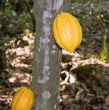 Cocoa (Theobroma cacao)_