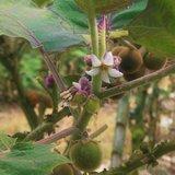 Naranjilla (Solanum quitoense)_
