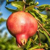 Pomegranate (Punica granatum)_