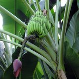 Sweet Wild Banana (Musa balbisiana)_
