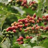 Arabica Coffee (Coffea arabica)_