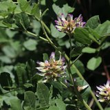 Chinese Liquorice (Glycyrrhiza uralensis)_