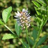 Liquorice (Glycyrrhiza glabra)_