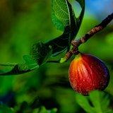 Common Fig (Ficus carica)_