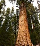 Giant Redwood (Sequoiadendron giganteum)_