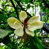 Southern Magnolia (Magnolia grandiflora)_