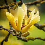 Cucumber Magnolia (Magnolia acuminata)_
