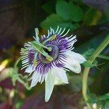 Woodland Passionflower (Passiflora morifolia)_