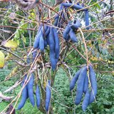 Blue Sausage Shrub (Decaisnea fargesii)_