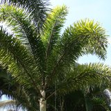 Foxtail Palm (Wodyetia bifurcata)_