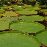 Victoria Water Lily (Victoria amazonica)_