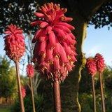 Forest Lily (Veltheimia bracteata)_