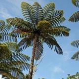 Black Tree Fern (Cyathea medullaris)_