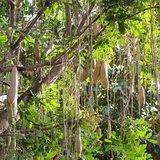 Sausage Tree (Kigelia africana)_