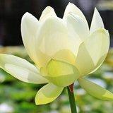 White Indian Lotus (Nelumbo nucifera 'alba')_