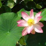 Indian Lotus (Nelumbo nucifera)_