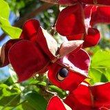 Black Pearl Tree (Majidea zanguebarica)_