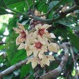 Kola Nut (Cola acuminata)_