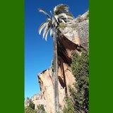 Bolivian Mountain Coconut (Parajubaea torallyi var. microcarpa) _