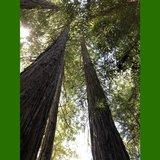 Coastal Redwood (Sequoia sempervirens)_