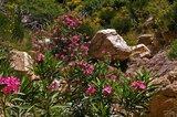 Oleander (Nerium oleander)_