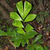 Fishtail Palm (Caryota mitis)_