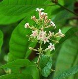 Red cinchona (Cinchona pubescens)_