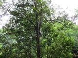 Clove (Syzygium aromaticum)_