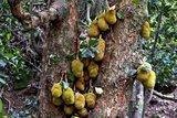 Jackfruit (Artocarpus heterophyllus)_
