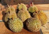 Durian (Durio zibethinus)_