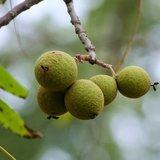 Black walnut (Juglans nigra)_