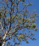 Neem tree (Azadirachta indica)_