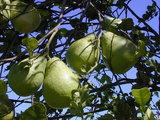 Pomelo (Citrus maxima)_