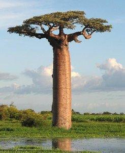 Grandidier's Baobab (Adansonia grandidieri)