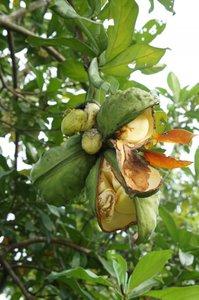 Kola Nut (Cola acuminata)