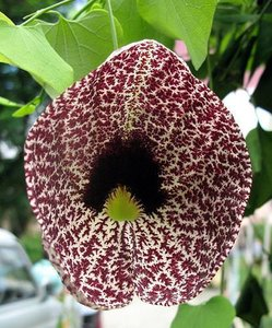 Calico Flower (Aristolochia elegans)