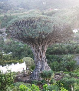 Canary Islands Dragon Tree (Dracaena draco)