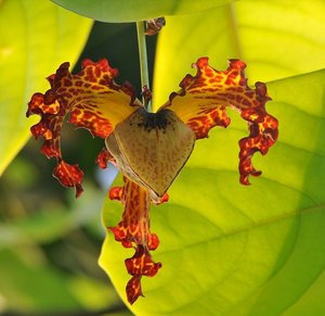 Calabash Nutmeg (Monodora myristica)
