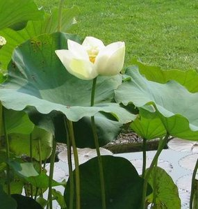 White Indian Lotus (Nelumbo nucifera 'alba')