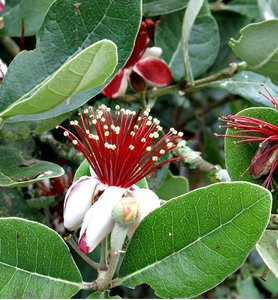 Feijoa (Feijoa sellowiana)