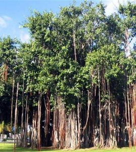 Indian Banyan (Ficus benghalensis)