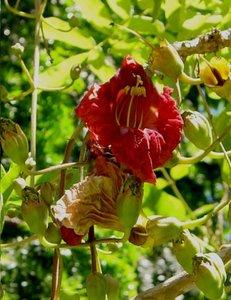 Sausage Tree (Kigelia africana)