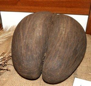 Coco de Mer (Lodoiceae maldivica)