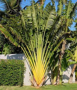 Traveller's Palm (Ravenala madagascariensis)