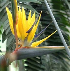 Yellow Bird of Paradise Flower (Strelitzia reginae 'Mandela's Gold')