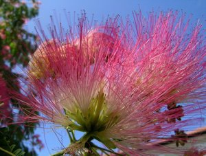 Persian Silk Tree (Albizia julibrissin 'E.H. Wilson')