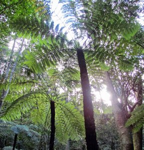 Rough Tree Fern (Cyathea australis)
