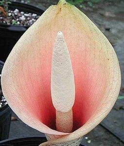 Voodoo Lily (Amorphophallus bulbifer)