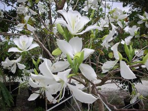 White orchid tree (Bauhinia variegata 'candida')