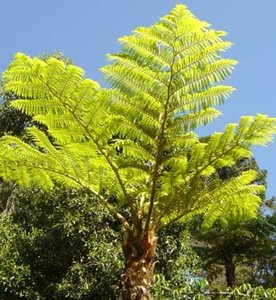 Norfolk Tree Fern (Cyathea brownii)